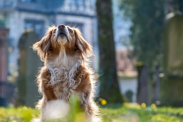 Hvorfor du skal fodre med kornfri hundefoder